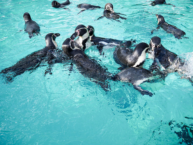 Swim with penguins